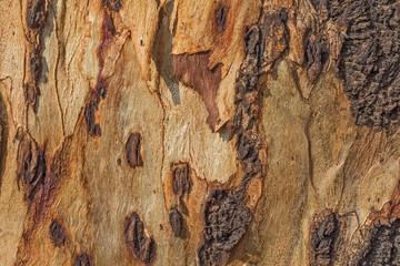 Texture - tree bark. Beauty tree bark of eucalyptus