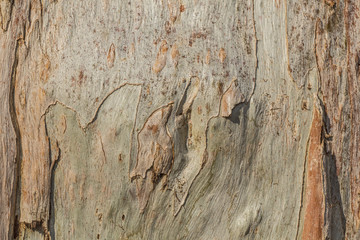 Texture - tree bark of eucalyptus