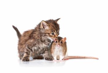 Adorable little tabby kitten kissing a rat