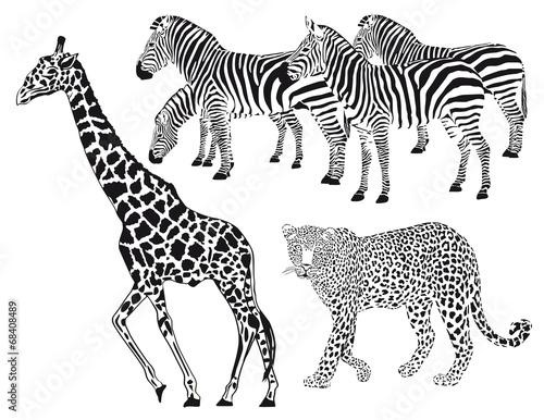lampart-zebra-zyrafa