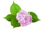 Hydrangea flower ( hydrangea macrophylla)