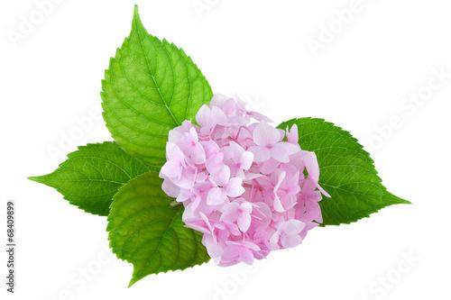 Spoed canvasdoek 2cm dik Hydrangea Hydrangea flower ( hydrangea macrophylla)