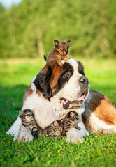 Saint bernard dog with little kittens and toy terrier puppy