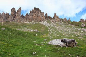 mucca al pascolo - Alpe di Siusi