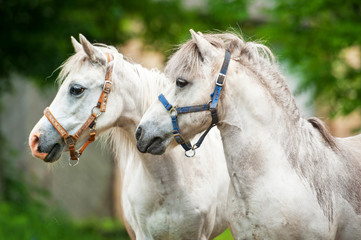 Portrait of two white ponies