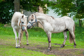 Two white ponies