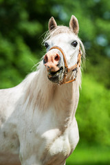 Portrait of white laughing pony