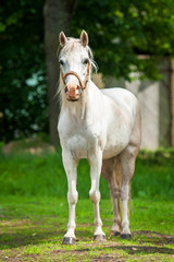 White welsh pony