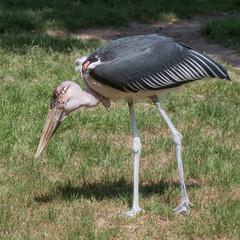 Marabou stork hunting for food