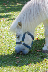 Cute white pony grazing on a meadow