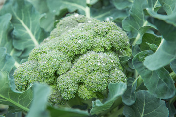 Organic broccoli with water drops