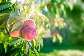 Fresh peaches on a tree in summer