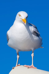 Closeup of Great Black-backed Gull