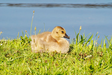 Baby Canadian Goose Laying in the Summer Sunhine