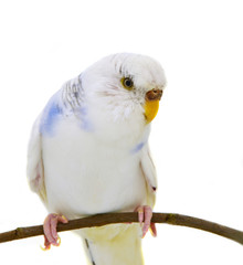 White budgerigars bird