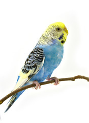 blue budgerigars bird