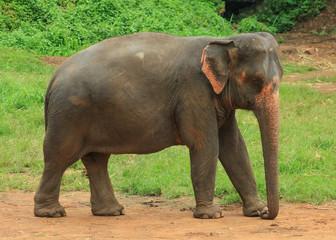 single Elephant in a park