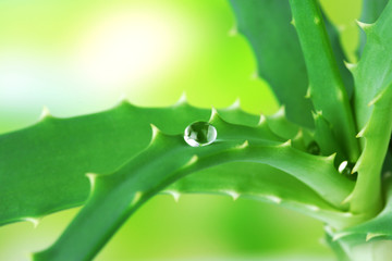 Water drops on fresh green aloe plant, on bright background
