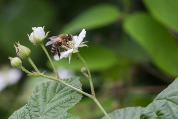Wespe auf Brombeerbusch