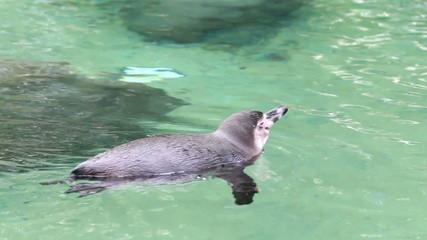 Humboldt penguin swimming