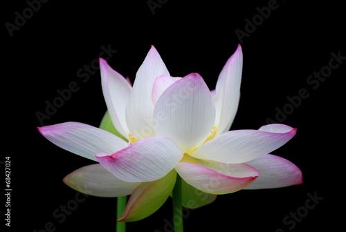 Foto op Canvas Lotusbloem 蓮花