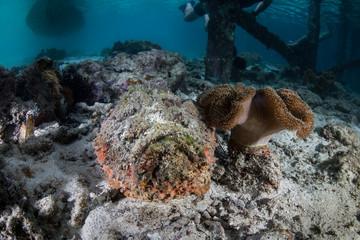 Venomous Stonefish