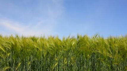 unripe barley field in wind