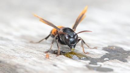 Macro view on wasp eating honey, Paper wasp. HD