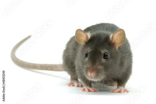 rat - 68431244