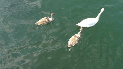 Three swan swimming on the lake GH4 4K UHD