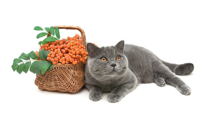 cat and rowan berries in a wicker basket on a white background c