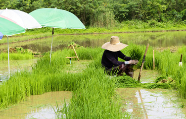 man worker at farm work green rice grass