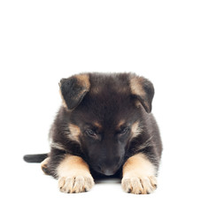 sad puppy shepherd dog on white background
