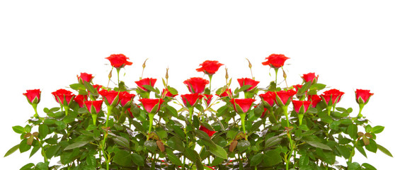 Red roses isolated on white.