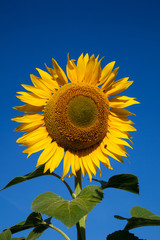 flower sunflower on the background of blue sky