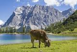 Kuh mit Kalb auf einer Wiese am Seebensee in Tirol