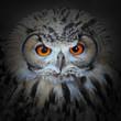 The evil eyes. The Eagle Owl, Bubo bubo.