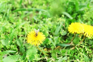 Bee on dandelion flower, outdoors