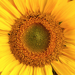 Close-up photo of a sunflower