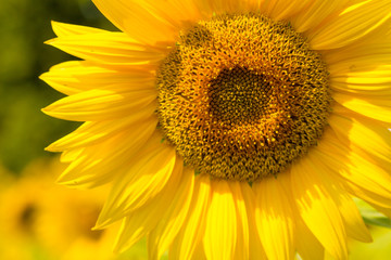 Close-up photo of a sunflower on sunlit field