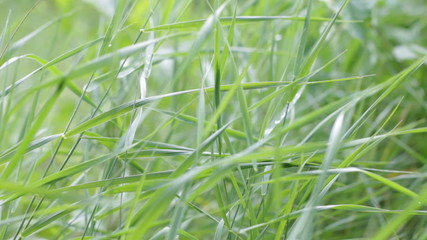 Blades of grass in the wind