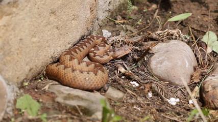 European viper snake ( Vipera ammodytes )