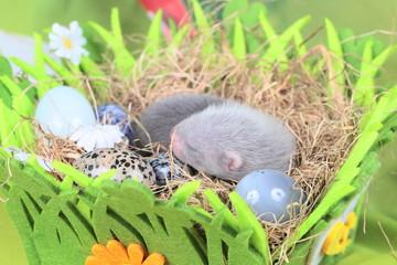 Ferret baby in the nest of hay