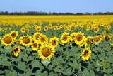 Fototapeta Beautiful sunflowers field