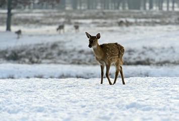 A herd of spotted deer in winter