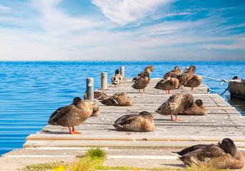Enten auf einem Steg