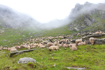 herd of sheeps in the mountains
