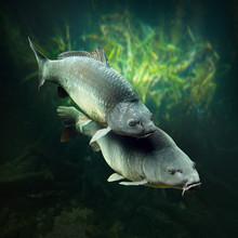 Podwodne zdjęcia o tematyce Karpie tarła (Cyprinus carpio).
