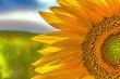 Sunflower closeup on a sunny day