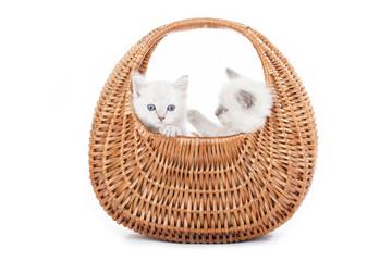 Ragdoll kittens in bell basket